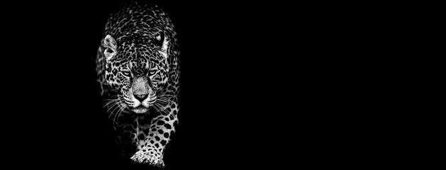 Deurstickers Panter Jaguar with a black background