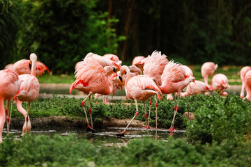 Foto auf Leinwand Flamingo pink flamingos in nature. A group of pink flamingos hunting in the pond. Oasis of green in urban setting, flamingo