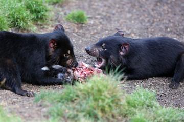 Tasmanischer Teufel  (sarcophilus harrisii) in Tasmanien. Australien