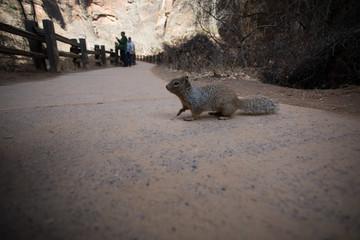 Scoiattolo Parco Nazionale Zion, Stati Uniti, Inverno