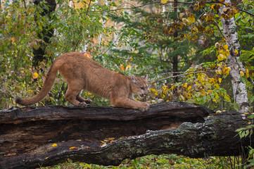 Cougar (Puma concolor) Sharpens Claws on Log Autumn