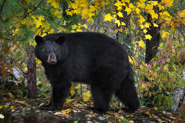 Wall Mural - Black Bear (Ursus americanus) Turns Atop Rock Autumn
