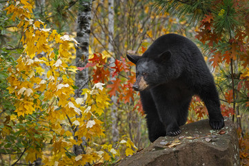 Fotomurales - Black Bear (Ursus americanus) Looks Out From Rock Autumn