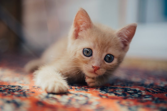 Cute ginger kitten looking at the camera
