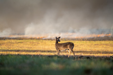 white-tailed deer doe in forest fire