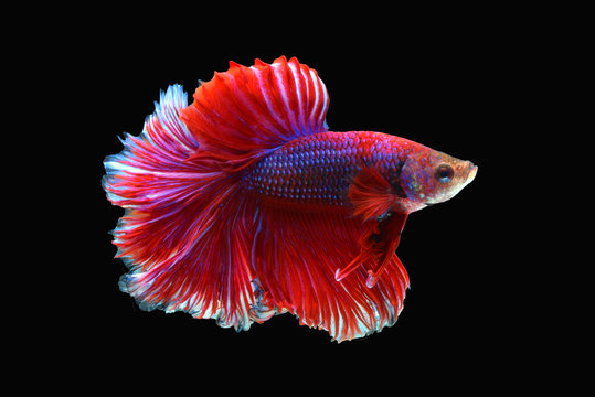 siamese fighting fish isolated black background. colorful freshwater fishes. super dark red blue fancy betta spreading fin and long tail dress swimming. close up and focus selection with CLIPPING PATH