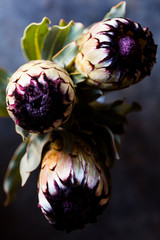 Protea neriifolia South African flower
