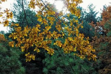 Wall Mural - Oak Autumnal Leaves