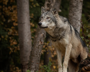 Photo sur Toile Loup Tundra Wolf Roman Triple D in Fall colors