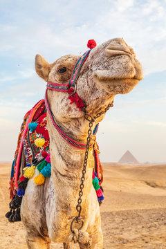 Camel near the great Giza pyramids