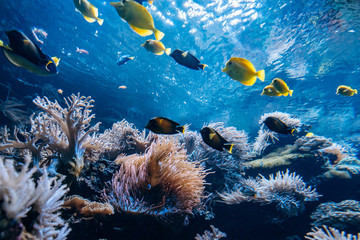Colorful underwater offshore rocky reef with coral and sponges and small tropical fish swimming by in a blue ocean