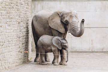 Deurstickers Olifant Baby elephant near big mother in zoo