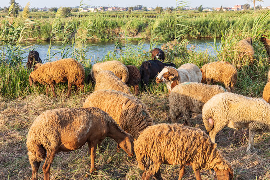 Sheep grazing in rural area of the Nile River delta
