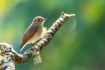 Fototapeta Asian Brown Flycatcher perching on a tree branch looking into a distance obraz