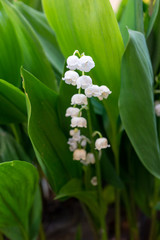 Close-up of the Lily of the valley or May lily - White bell shaped flowers surrounded by green leaves