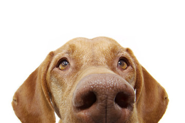 close-up curious pointer dog eyes hide. Isolated on white background. Fotomurales