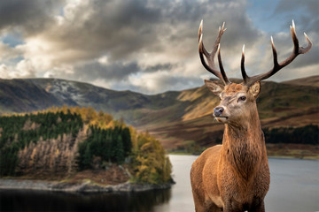 Poster Hert Majestic Autumn Fall landscape of Hawes Water with red deer stag Cervus Elpahus in foreground
