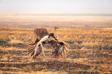 Closeup shot of a female Somali ostrich running in the valley in the Ngorongoro national park