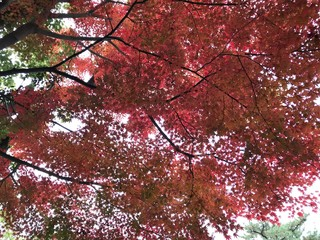 Red Color Autumn Leaves