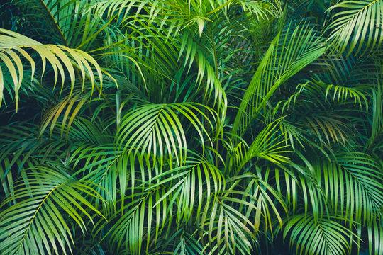 tropical plant backgound - palm tree leaves