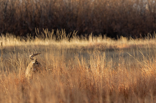 Whitetail Deer Buck in the Fall Rut in Colorado