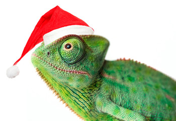 Fototapete - chameleon - Chamaeleo calyptratus on a branch with santa cap isolated on white