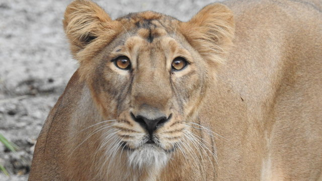 Closeup Eyes of a Lion in detailed view. Portrait of an African lioness (Panthera leo), South Africa. Extreme detailed close up of female African lioness eye looking at camera