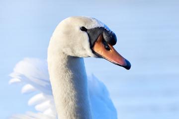 In de dag Zwaan Mute Swan Head Closeup ( Cygnus olor )