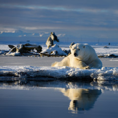 Male polar bear lying on Barter Island with reflection in Kaktovik Lagoon Alaska and whale bones and mountains