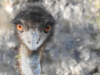 Poster Struisvogel ostrich bird head and neck front portrait in the park , Closeup Ostrich with red eyes and black head amazing view with detailed view in closeup. White-tailed deer fawn (Odocoileus virginianus) walking