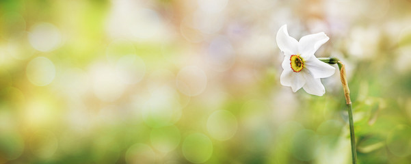 Papiers peints Narcisse Delicate spring background with white daffodil on blurred background, place for text, copy space_