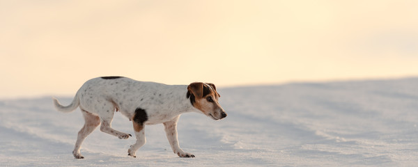Little 12 years old  Jack Russell Terrier dog is walking over a snowy meadow in the season winter.