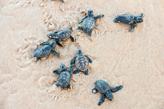 Seven sea turtle hatchlings going to the water