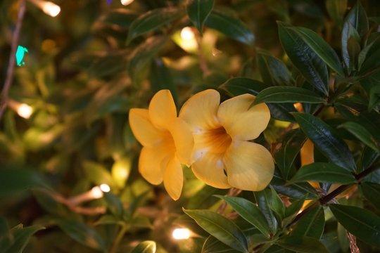Italian Jasmine, Yellow Jasmine Beautiful yellow or Allamanda cathartica golden light bokeh background