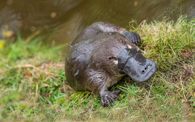 A platypus leaves the water to bask in the sun