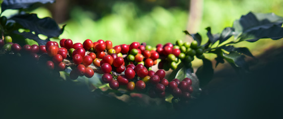 Photo sur cadre textile Café en grains Close up, Arabica coffee berry ripening on tree, coffee beans in North of thailand, Blur background.