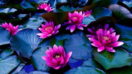 Garden Poster Lotus flower flower