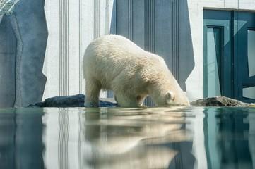 Deurstickers Ijsbeer polar bear in the zoo