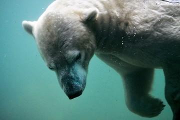 Deurstickers Ijsbeer polar bear under water