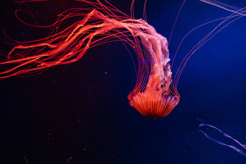 Bright lash lava colourful glowing jellyfish in the dark water,  dark background in aquarium
