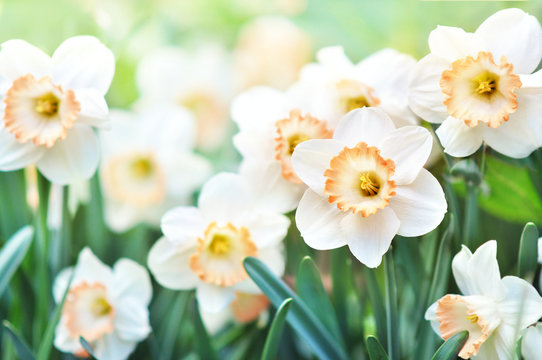Spring blossoming yellow daffodils, springtime blooming narcissus (jonquil) flowers, shallow DOF
