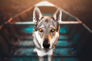 Foto auf Leinwand Wolf Wolfodg on a blue boat, adventure time, adventure with a dog