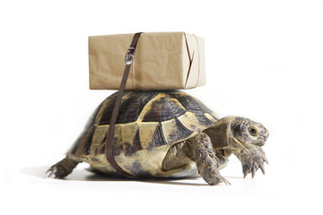 Turtle with shipping box on a back, isolated on white. Delivery concept. Selective focus.