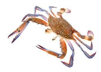 Flower crab or blue swimmer crab, or sand crab. Portunus armatus (formerly Portunus pelagicus) isolated on a white background