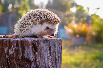 Asian hedgehog with the soft light of the young sun in the morning., Dwraf hedgehog on stump, Young hedgehog on timber wiith eye contact, Colorful and delicious hedgehog food