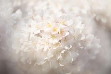 Papiers peints Fleur de cerisier 桜(ソメイヨシノ)