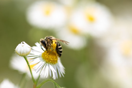 Close up of solitary Bee on daisy flower collecting pollen.