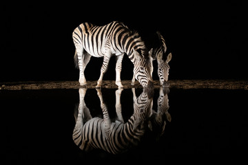 Poster Zebra Two zebras drinking from a pool in the night