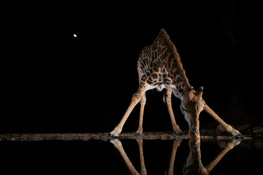 Giraffe drinking from a pool at night in the moonshine