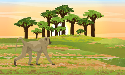 Yellow baboon is walking on the African savannah. Baobab grove. Wildlife of Africa. Realistic vector landscape